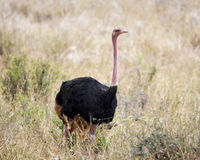 Single male ostrich walking in grass Royalty Free Stock Image