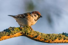 Single male sparrow perched on dry twig. Horizontal photo with single sparrow bird. Bird sits on worn wooden twig partially covered by bark with moss and lichen Stock Photo
