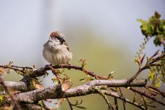 Single Male sparrow sits on branch of small tree. Horizontal photo of single male sparrow with nice gray and brown feathers. Bird sits on the branch of small Royalty Free Stock Photos