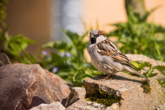 Single Male sparrow sits on stone in the garden. Horizontal photo of single male sparrow with nice gray and brown feathers. Bird sits on a stone with green moss Royalty Free Stock Images