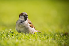 Single Male sparrow with sunflower seed in beak. Horizontal photo of single male sparrow with nice gray and brown feathers. Bird stands in green grass and has Stock Photo