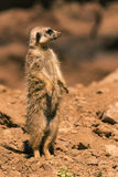 Single male Surikata on guard. Vertical photo of single male surikata on guard. Animal stands on send with several stones and a blurred rock is in background Stock Images