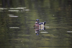A single male wood duck. Floats on the water Stock Photo