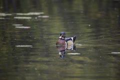 A single male wood duck Stock Photo