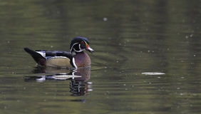 A single male wood duck. Floats on the water Royalty Free Stock Image