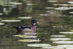 A single male wood duck. Floats on water Royalty Free Stock Photos