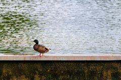 Single mallard duck rating outside the water Stock Photos