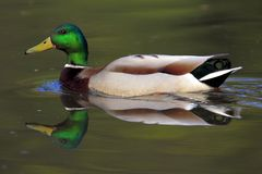Single Mallard Wild duck on a water surface. During a spring nesting period Royalty Free Stock Photo