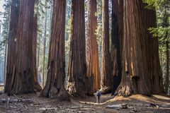 Single Man with Huge Grove of Giant Sequoia Redwood Trees in Cal. Man looking up at grove of huge Giant Sequoia Redwood trees in California`s Sierra Nevada stock photography