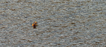 Single mandarin duck in a river Royalty Free Stock Photography