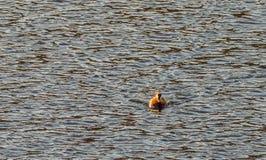 Single mandarin duck a river Stock Images