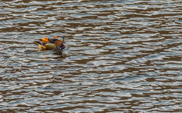 Single mandarin duck swimming in a river Royalty Free Stock Image
