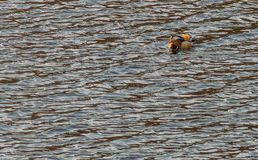 Single mandarin duck swimming in a river Stock Photography