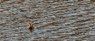 Single mandarin duck swimming in a river Royalty Free Stock Photo