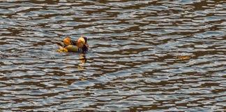Single mandarin duck swimming in a river Stock Photos
