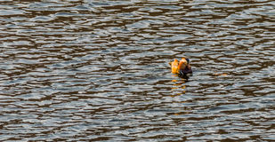 Single mandarin duck swimming in a river Royalty Free Stock Photos