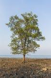 Single mangrove Stock Photos