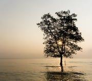 Single mangrove Royalty Free Stock Photo