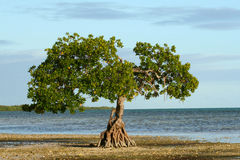 Single Mangrove on the Shoreline of the Florida Ke Royalty Free Stock Images