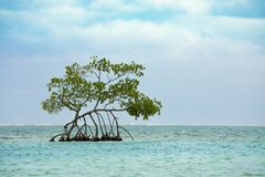 Single mangrove tree growing in the turquoise waters of the Caribbean sea off Roatan stock photos