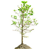 Single Mangrove tree isolated white Stock Image