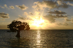 Single Mangrove Tree at Sunset Stock Photos