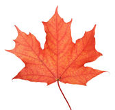 Single maple autumn leaf Stock Photos