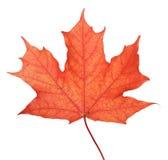 Single maple autumn leaf. Isolated on white Stock Photos