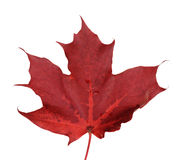 Single maple autumn leaf Stock Photo