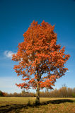Single maple in the fall. The fall colours, wioth so many maple trees can only be a North American image, its almost iconic Royalty Free Stock Photos