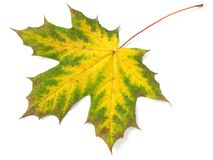 Single maple leaf Royalty Free Stock Photography