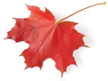 Single maple leaf Royalty Free Stock Photography