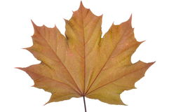 Single maple leaf Stock Photography