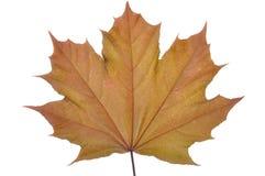 Single maple leaf Stock Photography