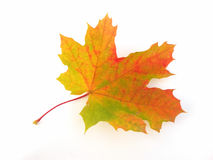 Single maple leaf Stock Images