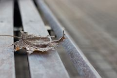 Single maple leaf on a bench. Close-up of a single autumn maple leaf covered with hoarfrost on a wooden bench stock image