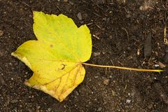 Single maple leaf Stock Image