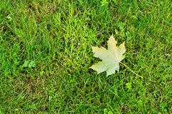 A single maple leaf on grass Royalty Free Stock Images
