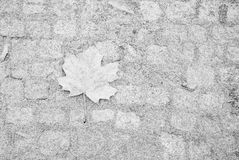 Single maple leaf on pavement covered by frost Stock Image