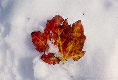 Single maple leaf in snow Royalty Free Stock Photo
