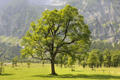 Single maple tree stock photography