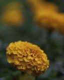 Single marigold flower Royalty Free Stock Photo
