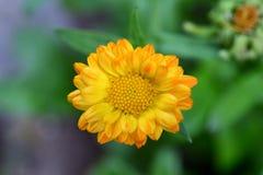Single marigold Stock Images