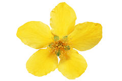 Single Marsh Marigold  Yellow wildflowers isolated  . Stock Photos