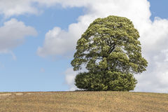 Single Mature Tree Skylined on a Hill Royalty Free Stock Images