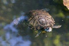 A turtle swim in the lake, in the sun. A single mature turtle swim in the lake, in the sun stock images