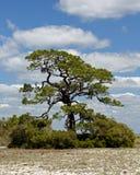 Single mature weathered pine tree on a sandy island Stock Image