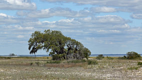 Single mature windswept tree on a sandy island Stock Photos
