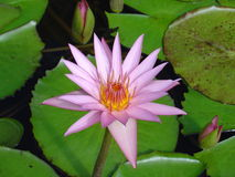 Single mauve water lily. Surrounded by leaves Royalty Free Stock Image