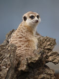 Single Meercat Royalty Free Stock Photos